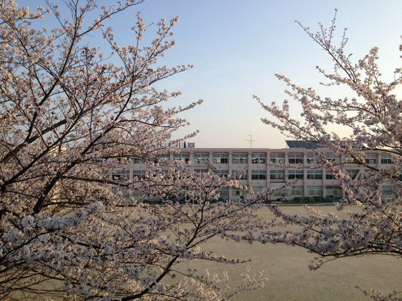 桜満開 長久手市立西小学校