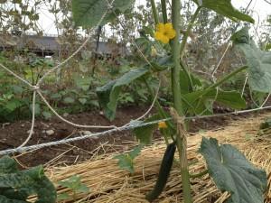 キュウリの初収穫