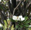 泰山木(たいさんぼく)の香り